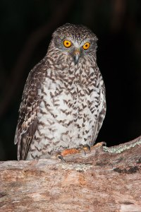 Image source: http://www.birdsinbackyards.net/species/Ninox-strenua