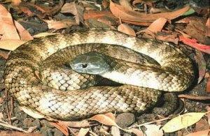 http://www.tigersnakes.com.au/