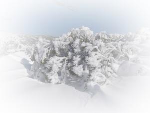 Snowgum2